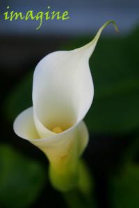Cala-Lily-0600pix.jpg